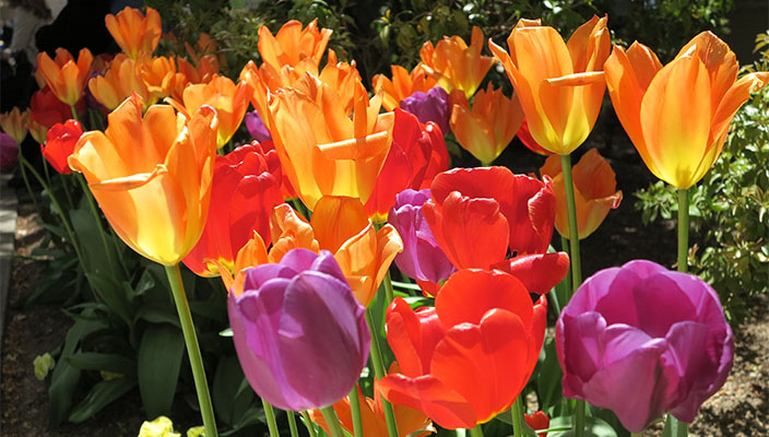Tulips Dutch Festival