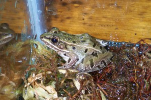 The new species of leopard frog identified by Feinberg.
