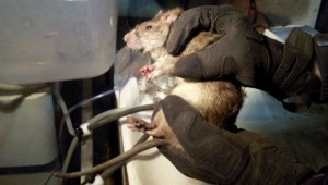 The Hofstra scientists implanted rats with radio frequency identification chips to monitor their habits and behavior
